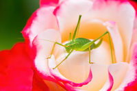 Green grasshopper insect sits on red white rose