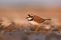 Little ringed plover, Charadrius dubius at sunset with copy space