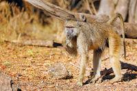 baboon, South Luangwa National Park, Zambia, (papio cynocephalus)