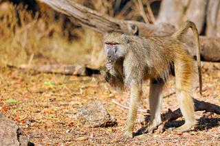 Steppenpavian, South Luangwa Nationalpark, Sambia, (papio cynocephalus) | baboon, South Luangwa National Park, Zambia, (papio cynocephalus)