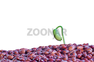 Sprouting a young plant of beans, green beans. Spring germination of seeds. Closeup. Isolated on a white background.