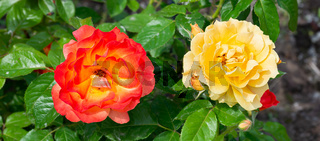 Orange and Yellow roses in a garden
