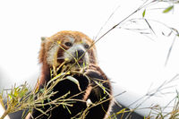 Cute animal, one red panda bear eating bamboo, while holding a bamboo branch with its paws. Light sky background