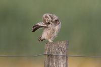 preening little owl