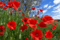 Red corn poppies on a slope