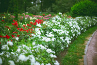 White and red roses in garden