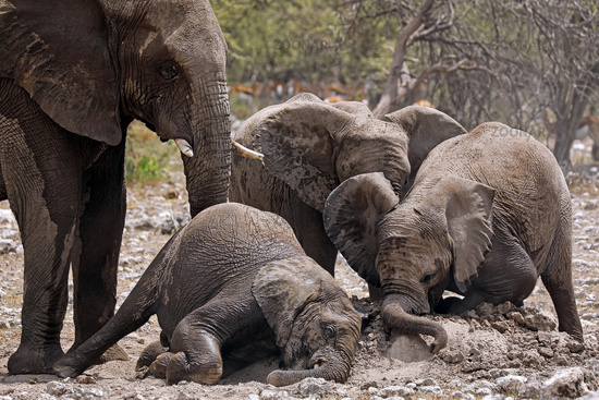elephants at a termite hill, Etosha National Park, Namibia, (Loxodonta africana)