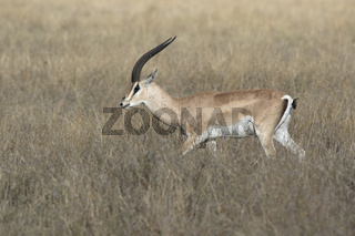 male Grant gazelles who walks among dry tall grass over the African savanna