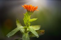Balcony plant Marigold in front of blurred background.