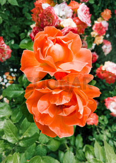 Orange roses in a garden