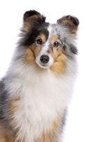 old Shetland Sheepdog