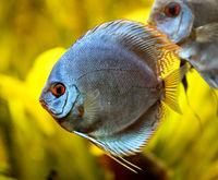 Discus fish in the aquarium. Discus are fish from the genus Symphysodon.