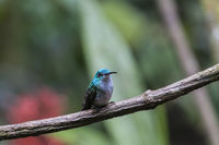 Blue Hummingbird (Trochilidae) sits on a branch, cloud forest, Ecuador.