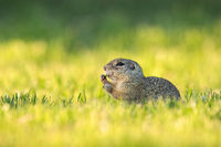 European ground squirrel feeding with herb on green meadow at sunrise