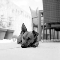 Portrait of a young dog. Mixed breed of german sheperd, chihuahua and parson jack russell terrier. Shot on analog medium format film. Analogue film grain concept.