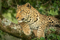 Leopard lying on lichen-covered branch looking left