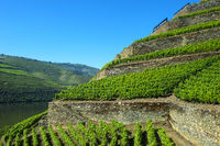 vineyard Hell Valley, Vale do Inferno, above the Douro River, Quinta de la Rosa Winery, Pinhao