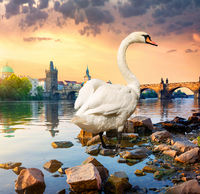 White swan on river Vltava