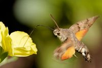 hummingbird hawk-moth on a wallflower