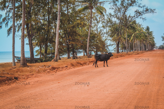 ox / cow / buffalo on emty rural dirt road next to palm trees and ocean -