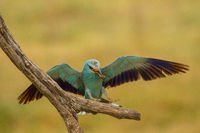 European roller landing on branch