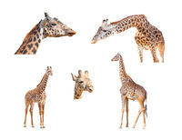 116+ Megapixel Giraffe Variety Collection Isolated on White Background