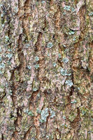 furrowed bark on mature trunk of ash tree close up