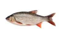Side view of ide fish