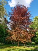 Purple beech in the Castle park in Pankow in Berlin