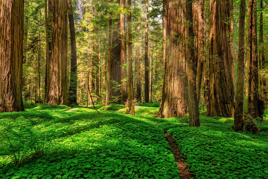 Redwood Forest Landscape in Beautiful Northern California