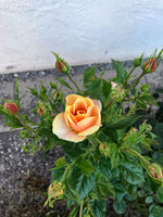 Garden rose with red and yellow flowers