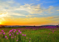 Golden sunset over flowering summer meadow with blossoming pink fireweed flowers