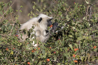 southern plains gray langur who sits on a bush and eats flowers