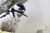 Great spotted woodpecker foraging