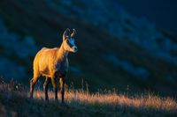 Chamois standing on dry grass lit by the sunset with copy space.