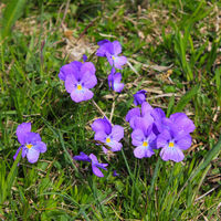 Spurred violet, wild flower growing in the Alps.