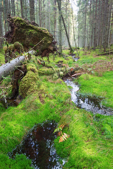 Creek at a uprooted tree in the spruce forests