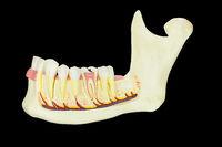 Model human jawbone with teeth on black background
