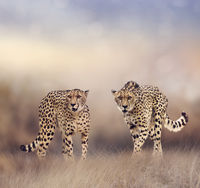 Cheetahs in the grassland