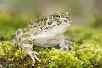european green toad frontal