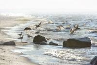 Seagulls at the Baltic Sea beach