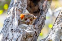 small night sportive lemur, Madagascar wildlife