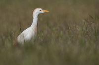 Cattle egret Algarve