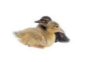 Baby Ducks isolated on white