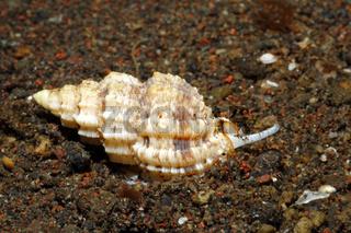 Live Sea Snail Shell, Phos textilis