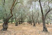 Olive Tree Tunnel