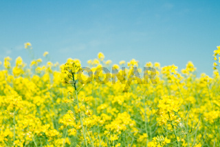 Yellow rapefield with blue sky. Agriculture, environment and energy concept.
