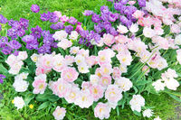 Flowerbed with purple and pink tulips