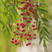 A pink pepper tree with peppercorns, Schinus molle also known as Peruvian pepper tree