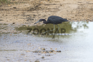 little blue heron that hunts fish in shallow water